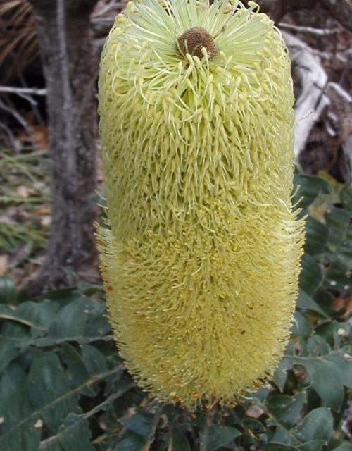 Banksia grandis - Australian Native Plant