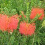 Beaufortia sparsa - Australian native plant