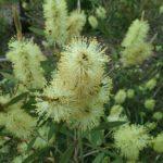 Callistemon pallidus - hardy Australian native plant