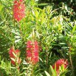Callistemon Red Clusters - hardy Australian native plant