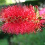 Callistemon comboyensis - hardy Australian native plant