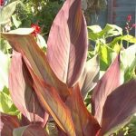 Canna lily Intrigue