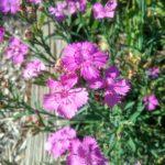 Dianthus seguieri - Perennial Plant