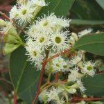 Eucalyptus gracilis - Australian native plant