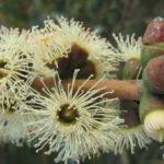 Eucalyptus halophila - Australian Native Gum Tree