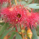 Eucalyptus leucoxylon rosea - Australian native plant