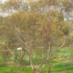 Eucalyptus erimicola ssp peeneri - Australian Native Plant
