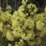 Eucalyptus redunca