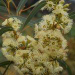 Eucalyptus socialis ssp viridens- Australian native plant