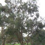 Eucalyptus wimmerensis - Australian native plant