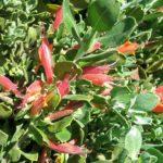 Eremophila glabra prostrate orange - hardy Australian native plant