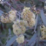 Eucalyptus socialis - Australian native plant