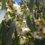 Eucalyptus melliodora - Australian native plant
