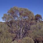 Eucalyptus leptopoda ssp subluta