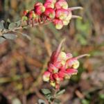 Grevillea celata - Australian native Plant
