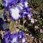 Tall Bearded Iris Rococo