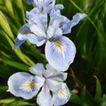 Iris innominata pale blue
