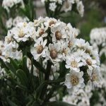 Ixodia achilleoides - paper like flowers