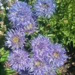 Jasione perennis - Perennial Plant