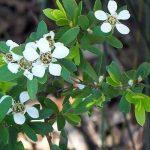 Leptospermum grandifolium -Australian native plant