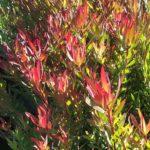 leucadendron Red Gem