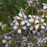 Leptospermum arachnoides -Australian native plant