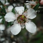 Leptospermum -Australian native plant