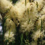 Melaleuca alternifolia - Australian native plant