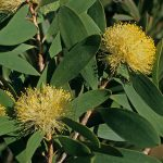 Melaleuca globifera - Australian native plant