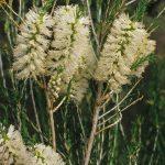 Melaleuca hamulosa - Australian native plant