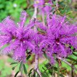 Melaleuca thymifolia - Australian native plant