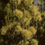 Melaleuca xerophila - Australian native plant