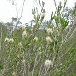Melaleuca parvistaminea - Australian native plant