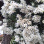 Melaleuca linariifolia - Australian Native Plant