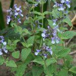 Nepeta clarkei - perennial plant
