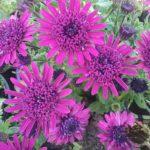 Osteospermum Double Purple - Hardy Perennial Plant