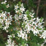Olearia ramulosa - Australian native plant