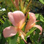 Canna lily apricot