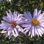 Aster Calliope - Perennial Plant