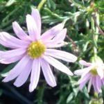 Brachyscome multifida pink - Australian Native Plant