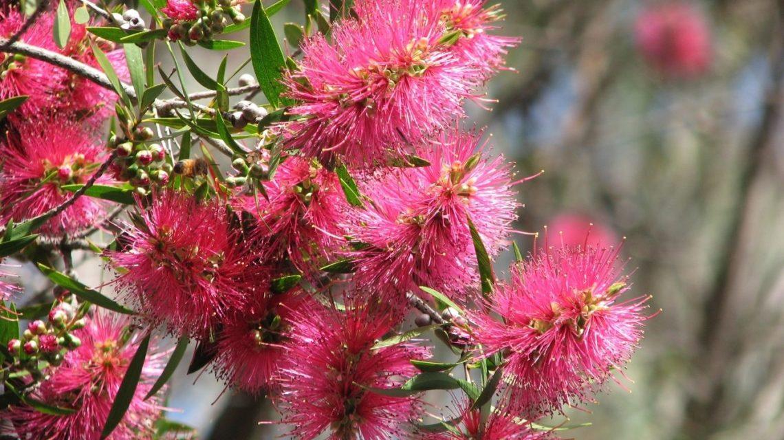 Callistemon Eureka - hardy Australian native plant