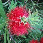 Callistemon montanus - hardy Australian native plant