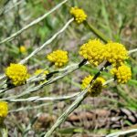 Calocephalus citreus - hardy Australian native plant