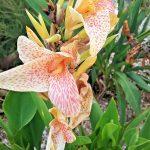 Canna lily Confettii