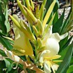 Canna lily dwarf light yellow