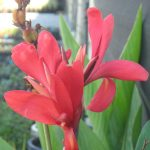 Canna lily Endeavour