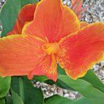 Canna lily Honey Mango