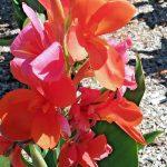 Canna lily Kathys Star