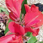 Canna lily Marie Nagel