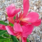 Canna lily Marjorie Cole